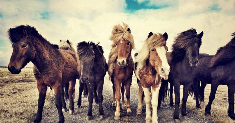 Mit Islandpferden reiten